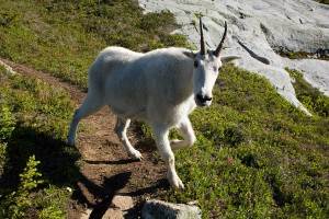 Mr. Curious Mountain Goat